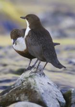 Dipper © www.northeastwildlife.co.uk