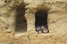 Sand martins © www.northeastwildlife.co.uk