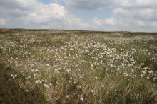 Cottongrass on the moors above Allenheads © NPAP/Shane Harris