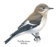 Pied flycatcher © NPAP