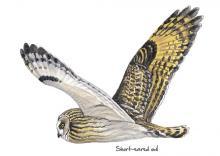 Short-eared owl © NPAP