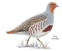 Grey partridge © NPAP
