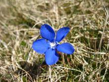 Spring gentian © NPAP/Elizabeth Pickett