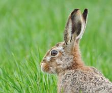 Brown Hare © Brian Rafferty/www.brianraffertywildlifephotographer.blogspot.co.uk/