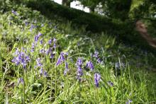 Bluebells at Allen Banks © NPAP/Shane Harris