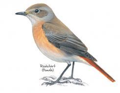 Redstart © NPAP